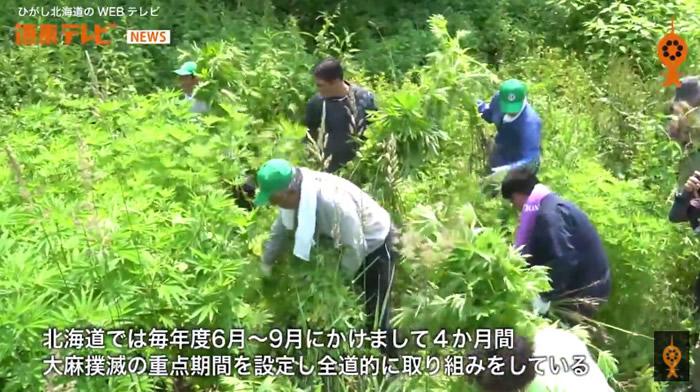 北海道今年7月7日津别町进行野生大麻清除工作,大麻草长得跟人一样高。