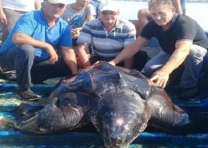 阿尔巴尼亚帕托古泻湖发现或由大西洋游至的巨型棱皮龟