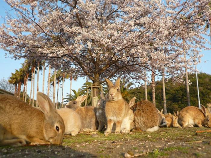 大久野岛有大量兔子。