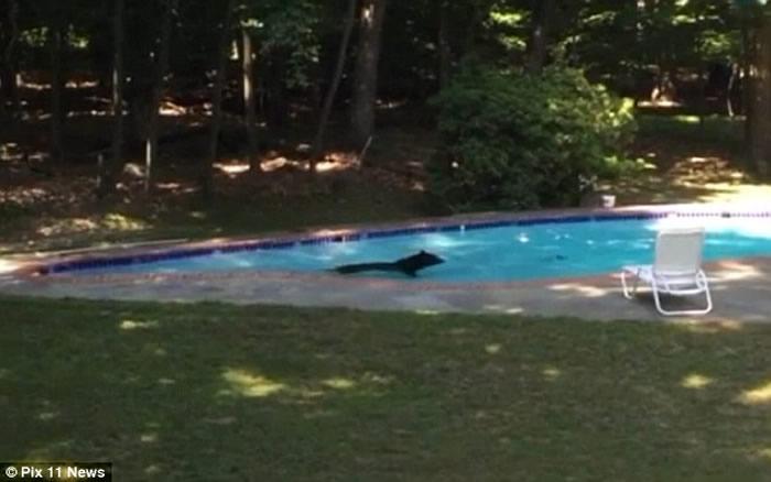 为什么有些野生动物会跑到你家的游泳池里