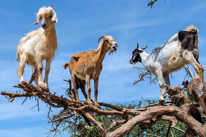 山羊高兴地爬到离地9公尺高,咀嚼着摩洛哥坚果树的果实。