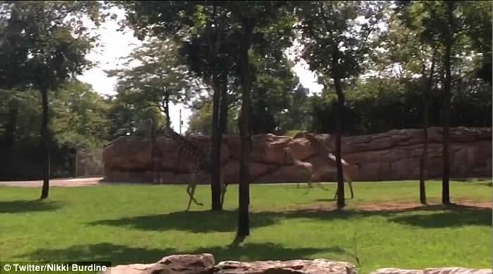 日全食发生 美国动物园的各种动物反应千奇百怪