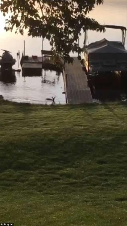 美国威斯康辛州女子家门前意外拍到白头海雕捕杀幼鹿的场面