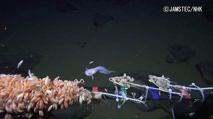 日本海洋与地球科学技术局和日本放送协会在马里亚纳海沟8178米深海捕捉到狮子鱼画面