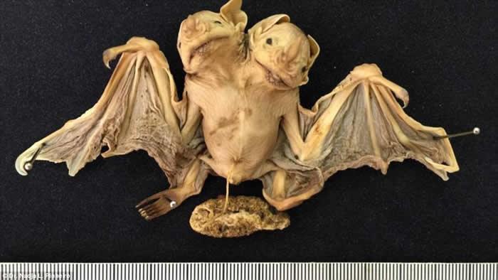 巴西芒果树上发现蝙蝠连体婴 这样的例子在人类以外非常罕见