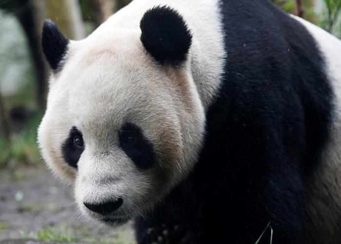"""英国爱丁堡动物园大熊猫""""甜甜""""诞宝宝?网民表现心急"""