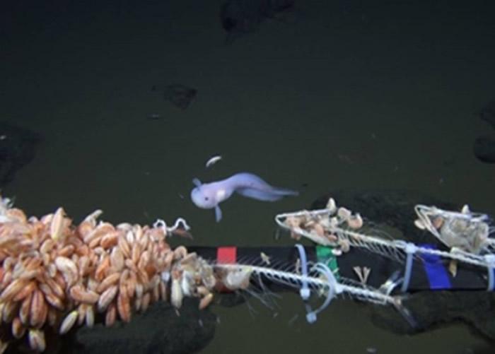 无人探测器拍到深海有鱼类出现。