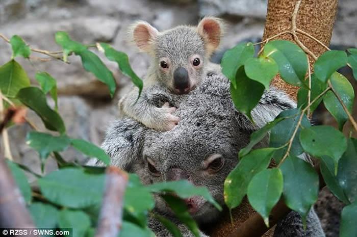 英国苏格兰爱丁堡动物园树熊宝宝现身同游客见面
