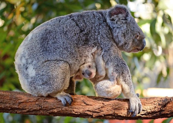 澳洲动物园诞生罕有白色树熊 公开征求名字