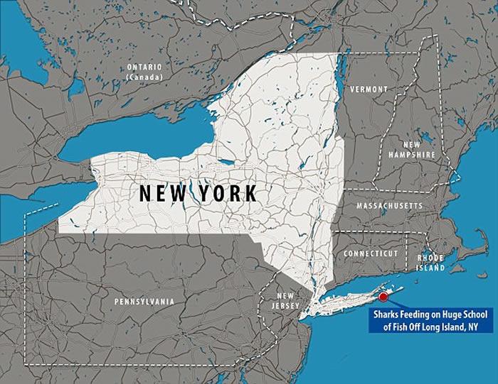 """美国纽约鲨鱼冲入鲱鱼群吃""""自助餐"""""""