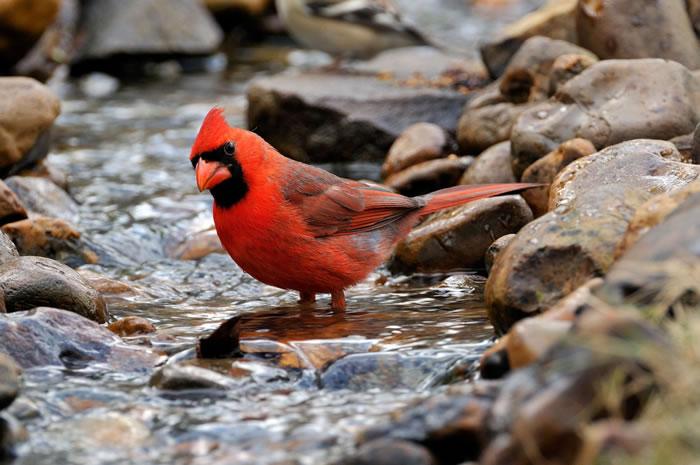 北美红雀喂鱼