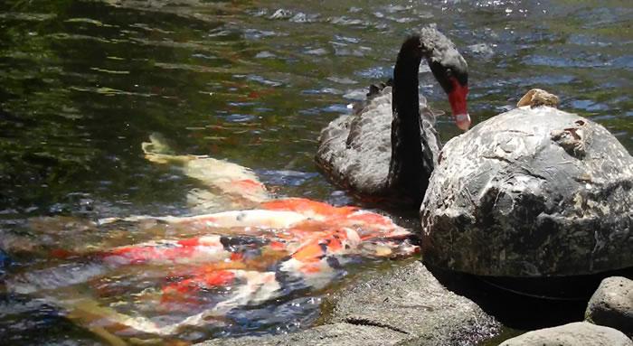 天鹅也在喂鱼
