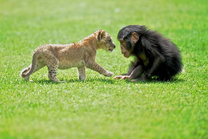 土耳其被遗弃小狮子与黑猩猩成玩伴 依偎一起好温馨