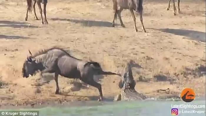 南非克鲁格国家公园牛羚被鳄鱼咬脚拖入水 千钧一发河马赶到助脱困