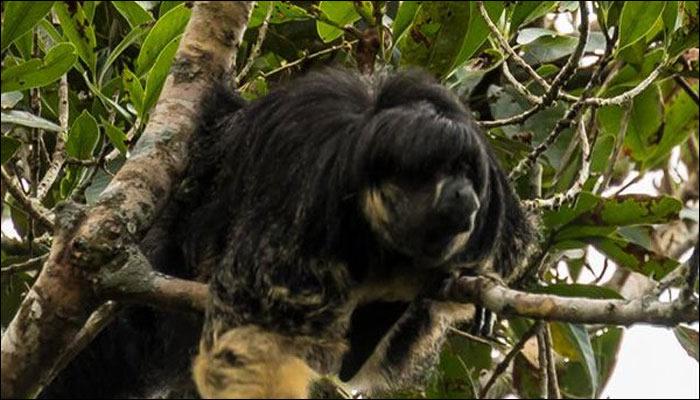 巴西与秘鲁接壤的亚马逊地区发现极罕见亚马逊狐尾猴 80年来再度发现