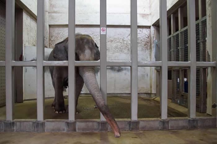 晴光(Sunny)已经单独生活在石川动物园(Ishikawa Zoological Garden)长达28年。 PHOTOGRAPH BY ELEPHANTS