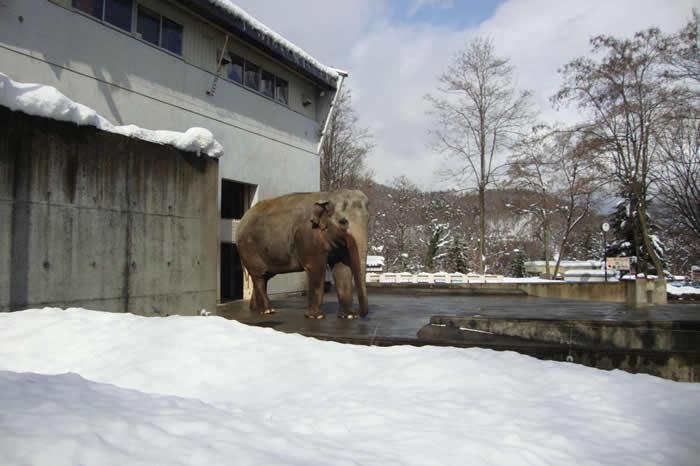 富子(ふこ)在长野市茶臼山动物园(Nagano Chausuyama Zoo)过了九年孓然一「象」的日子。 PHOTOGRAPH BY ELEPHANTS IN