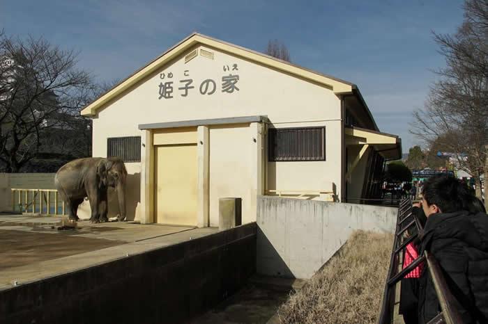 姬子(ひめこ)在姬路市立动物园(Himeji City Zoo)独自度过了23年。 PHOTOGRAPH BY ELEPHANTS IN JAPAN