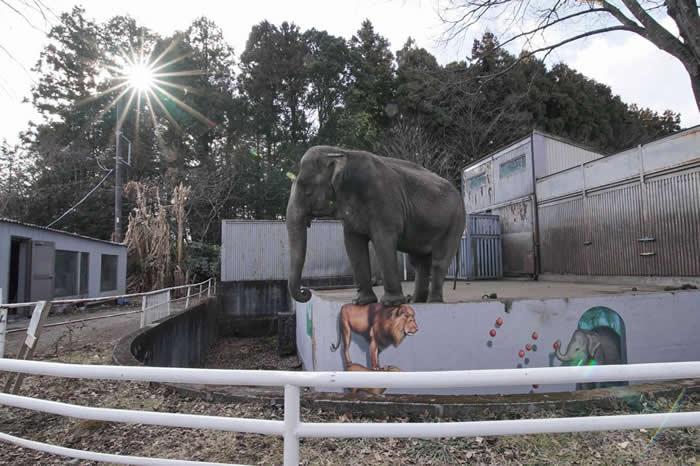 宫子(みやこ)在宇都宫动物园(Utsunomiya Zoo)孤身长达44年。 PHOTOGRAPH BY ELEPHANTS IN JAPAN