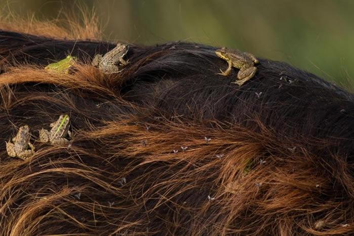 青蛙在水牛背上吃苍蝇和其他的昆虫。 PHOTOGRAPH BY NIZAMETTIN YAVUZ