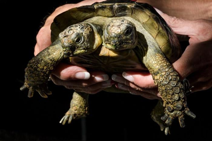 雅努斯打破了最长寿双头龟类的世界纪录。
