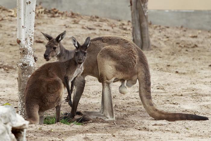 澳大利亚袋鼠数量增至4500万只 为控制数量有人建议吃掉它们