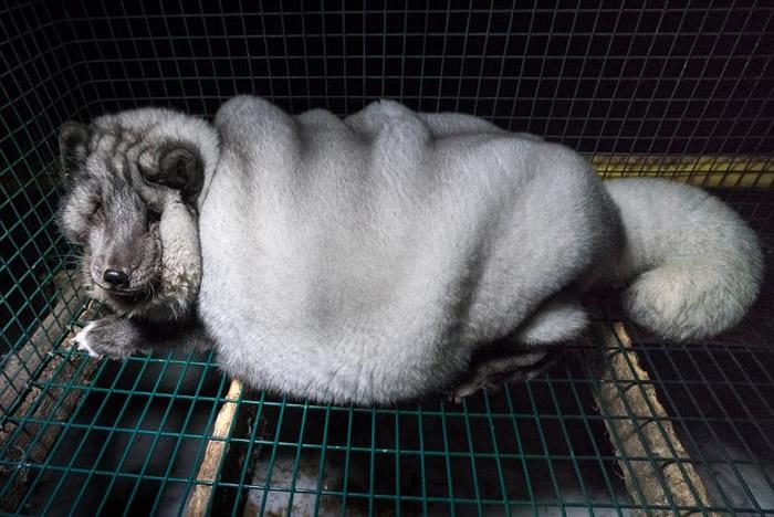 芬兰无良商人为取得更大块皮草不惜以高脂食物喂养狐狸 近9成皮草销中国