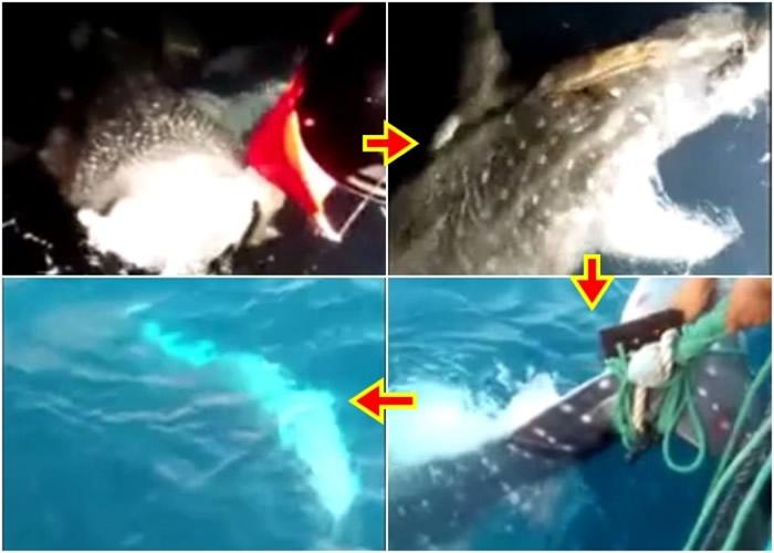 一只年幼鲸鲨闯进渔网,渔民立即割网将鲸鲨放生。
