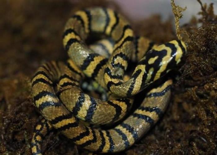 横斑锦蛇被称作是世界上最美的蛇,是中国特有的一种蛇类,相当罕见。