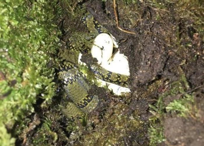 丁利带领的研究团队成功孵化首批横斑锦蛇蛇蛋。