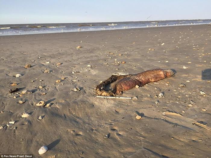 美国德州海滩发现神秘无眼巨大海洋生物腐尸 可能是狼牙恐蛇鳗