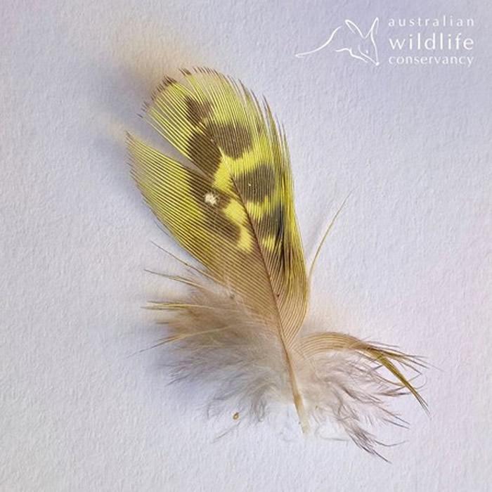 澳洲发现夜鹦鹉羽毛