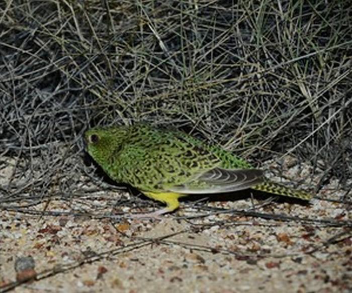 过去在昆士兰拍到的夜鹦鹉。