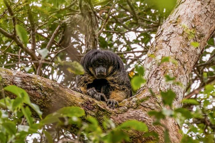 """神秘的亚马逊动物""""凡索理尼僧面猴""""消失80年后首度现身"""