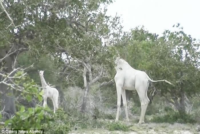 非洲肯尼亚保育区发现极罕见的白色长颈鹿母子