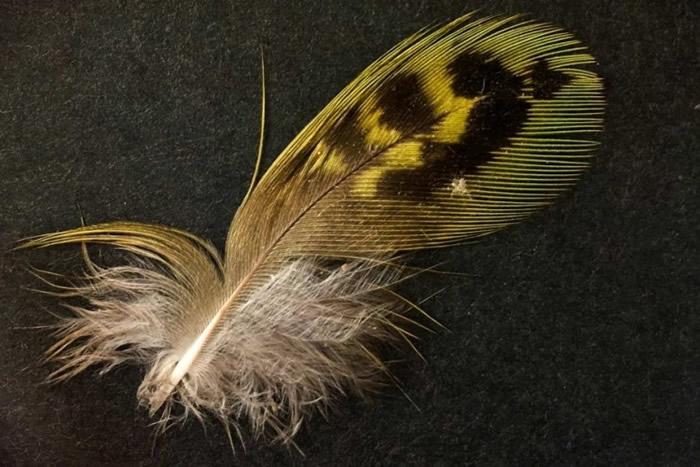杨恩及贝尔钱伯发现夜鹦鹉羽毛。