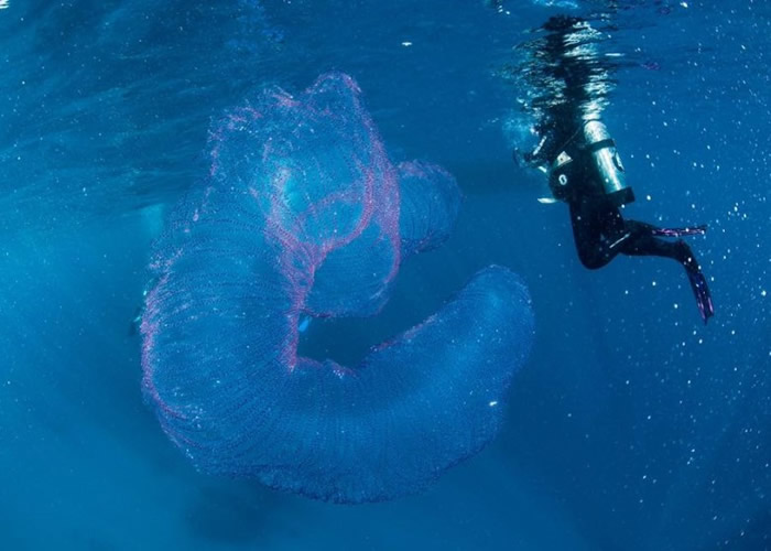 """澳洲道格拉斯港拍到巨型半透明粉红""""海洋独角兽""""——火体虫(pyrosome)"""