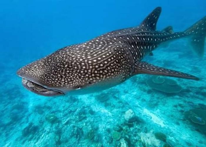 鲸鲨被视为濒临绝种的大型物种之一。