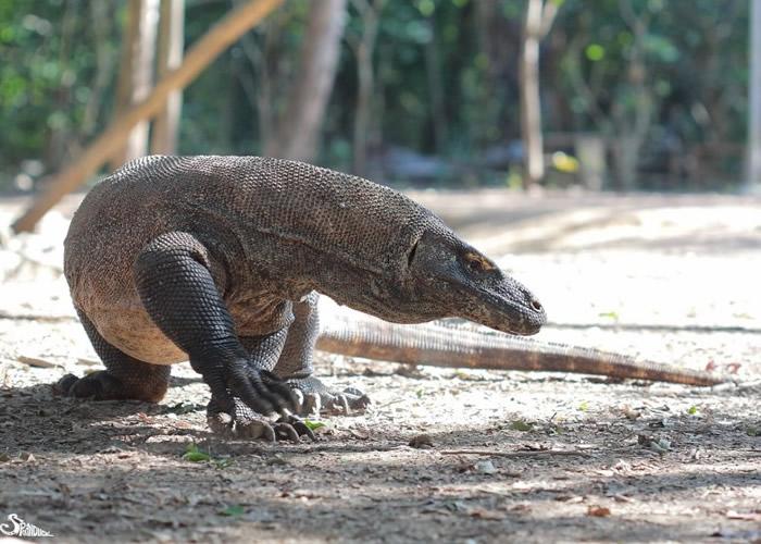 体积大的科莫多龙也成为人类猎杀的对像。