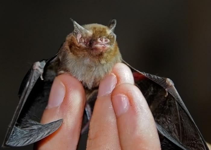 物种的另一端也不好过,凹脸蝠也面对生态危机。