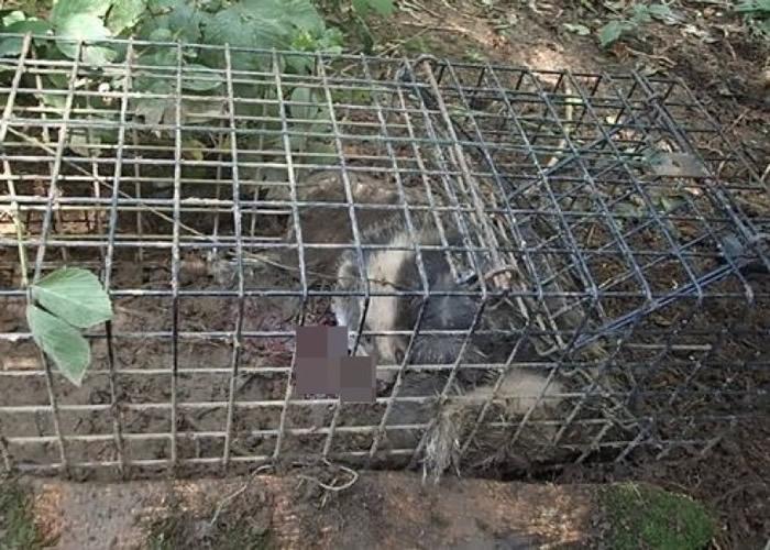 德文郡发现一只失血过多而死的獾。