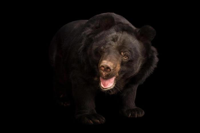 丹尼尔.泰勒相信,雪怪足迹是亚洲黑熊留下来的,也就是照片中这只在印度亚美达巴得的卡姆拉内胡鲁动物园(Kamla Nehru Zoological Garden)