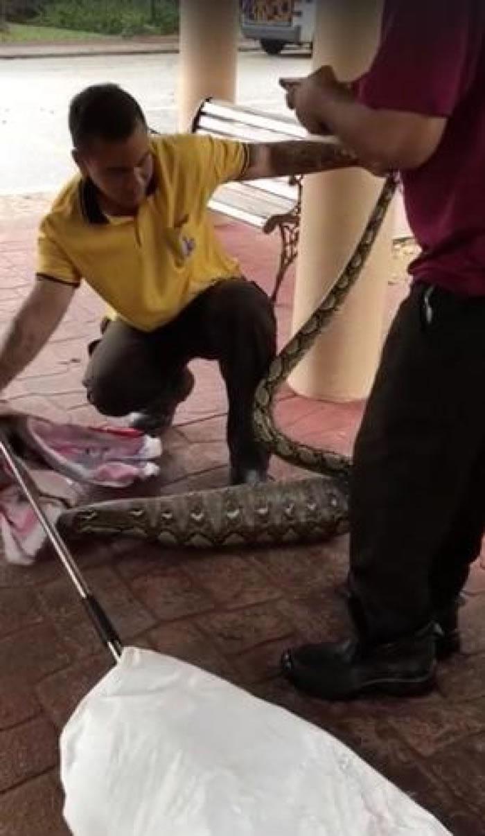 新加坡盛港草丛捕获大蟒蛇 疑吞下失踪家猫