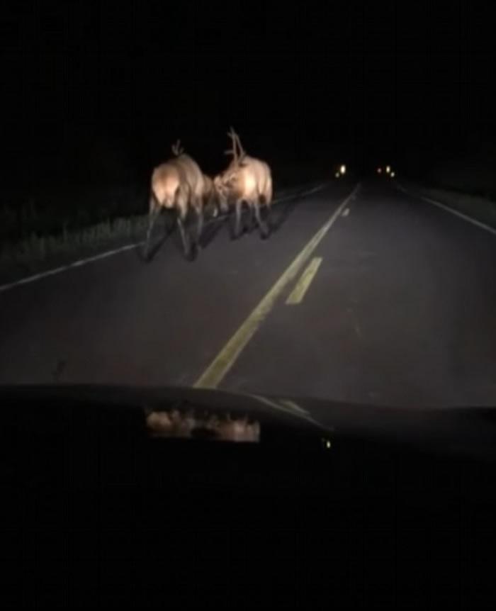 美国威斯康辛州乡郊公路上演精彩雄鹿大战