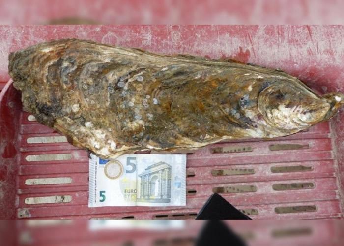 法国旺迪省滨海博瓦地区蚝民捞到长达37.5厘米巨型生蚝