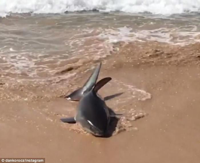 受伤鲨鱼冲上澳洲曼利海滩 岩池放生重拾活力