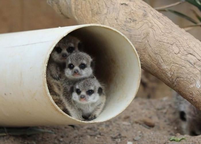 狐獴宝宝睁大眼睛,从洞穴探出头。