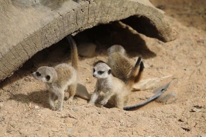 狐獴宝宝的可爱样子,相信能俘虏不少爱动物之人。