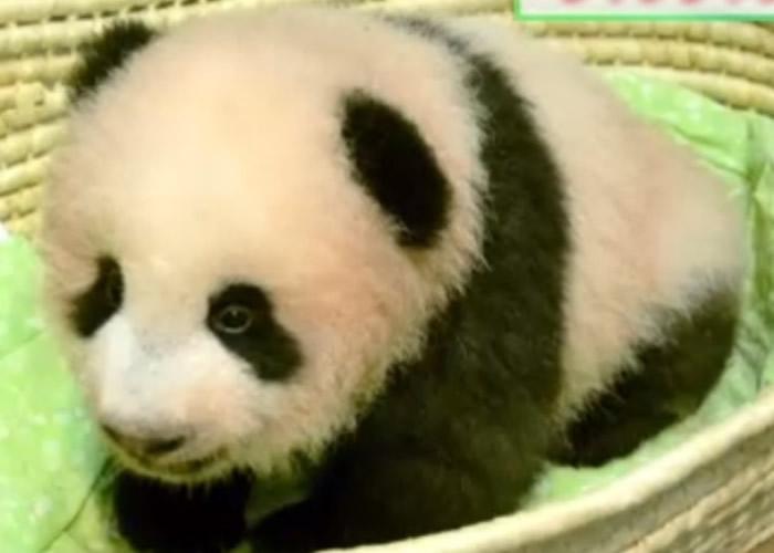 熊猫宝宝被命名为香香。