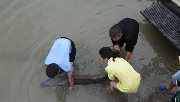 这条罕见的野生中华鲟被放归长江。